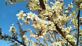 Flores de las flores en el albaricoquero de las ramas