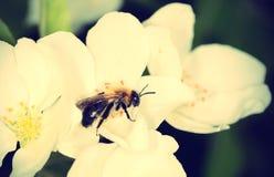 Flores de las flores de cerezo Foto de archivo libre de regalías