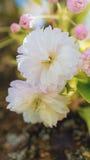 Flores de las flores de cerezo en [arca imagen de archivo libre de regalías