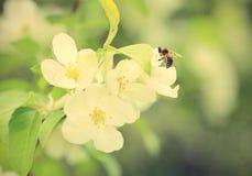 Flores de las flores de cerezo en la primavera Foto de archivo