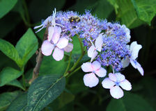 Flores de las flores grande púrpura y pequeño con la abeja Fotos de archivo