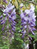 Flores de las glicinias Foto de archivo