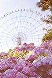 Flores de las hortensias y una noria fotos de archivo libres de regalías