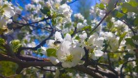 Flores de las manzanas Imagen de archivo