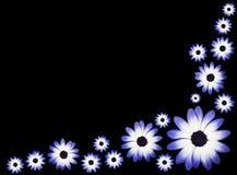 Flores de las margaritas azules y blancas de Osteospermums - Fotos de archivo libres de regalías
