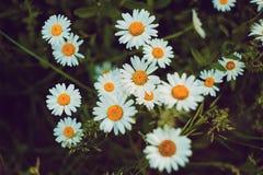 Flores de las margaritas en el campo imagenes de archivo