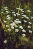 Flores de las margaritas en el campo imagen de archivo