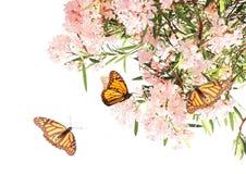 Flores de las mariposas rosadas del color y de monarca Imagenes de archivo