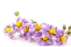 Flores de las patatas que florecen en comienzo del verano Fotografía de archivo libre de regalías