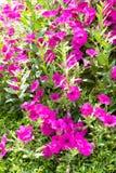 Flores de las petunias Fotografía de archivo libre de regalías