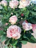 Flores de las rosas Foto de archivo libre de regalías