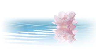 flores de las rosas aisladas en blanco Fotografía de archivo