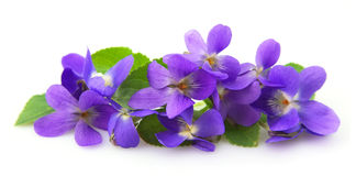 Flores de las violetas Fotografía de archivo libre de regalías