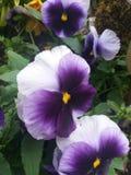 Flores de las violetas fotos de archivo