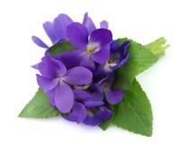 Flores de las violetas de madera Foto de archivo