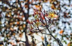 Flores de Leelawadee Imagenes de archivo
