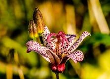 Flores de Lely Fotografia de Stock