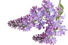 Flores de Liclac Fotografía de archivo libre de regalías