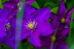 Flores de Lila foto de stock royalty free