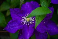 Flores de Lila fotos de stock