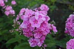 Flores de Lila en campo Fotos de archivo