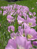 Flores de Liliac en un campo. Fotografía de archivo