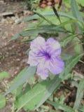 Flores de Lilly Fotos de archivo libres de regalías