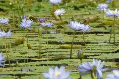 Flores de Lilly del agua a montones Fotos de archivo