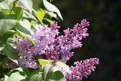 Flores De Lilo Obraz Royalty Free