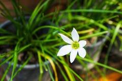 Flores de Lindl del rosea de Zephyranthes Fotos de archivo
