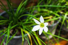 Flores de Lindl do rosea de Zephyranthes Fotos de Stock