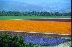 Flores de Lompoc fotografia de stock