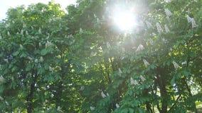 Flores de los árboles de castaña almacen de metraje de vídeo