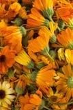 Flores de los calendulas (officinalis del Calendula) Foto de archivo libre de regalías