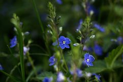 Flores de los chamaedrys del Veronica que florecen en un campo fotos de archivo