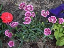 Flores de los claveles de los jarros diversas Foto de archivo