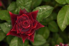 Flores de los colores XVI Fotografía de archivo