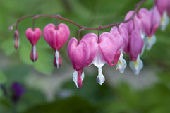 Flores de los corazones sangrantes Fotos de archivo
