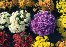 Flores de los crisantemos Foto de archivo