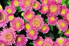 Flores de los crisantemos Imagenes de archivo