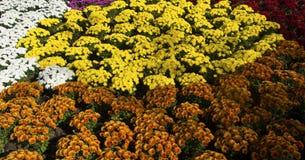 Flores de los crisantemos en diversos colores imágenes de archivo libres de regalías