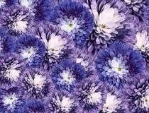 Flores de los crisantemos fondo púrpura-azul collage floral Composici?n de la flor Primer fotos de archivo