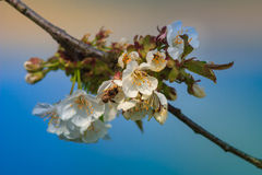 Flores de los flores de cereza Foto de archivo libre de regalías
