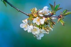 Flores de los flores de cereza Imagen de archivo libre de regalías