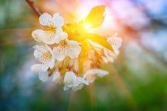 Flores de los flores de cereza Fotografía de archivo