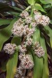 Flores de los fragrans del Dracaena Imágenes de archivo libres de regalías