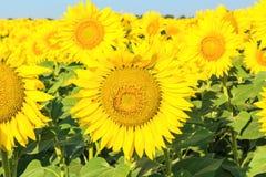 Flores de los girasoles soleados amarillos, cierre para arriba fotos de archivo libres de regalías