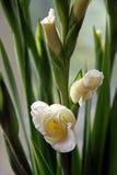 Flores de los gladiolos Imágenes de archivo libres de regalías