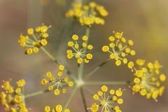 Flores de los graveolens del Anethum del eneldo Fotografía de archivo