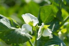Flores de los guisantes fotografía de archivo libre de regalías